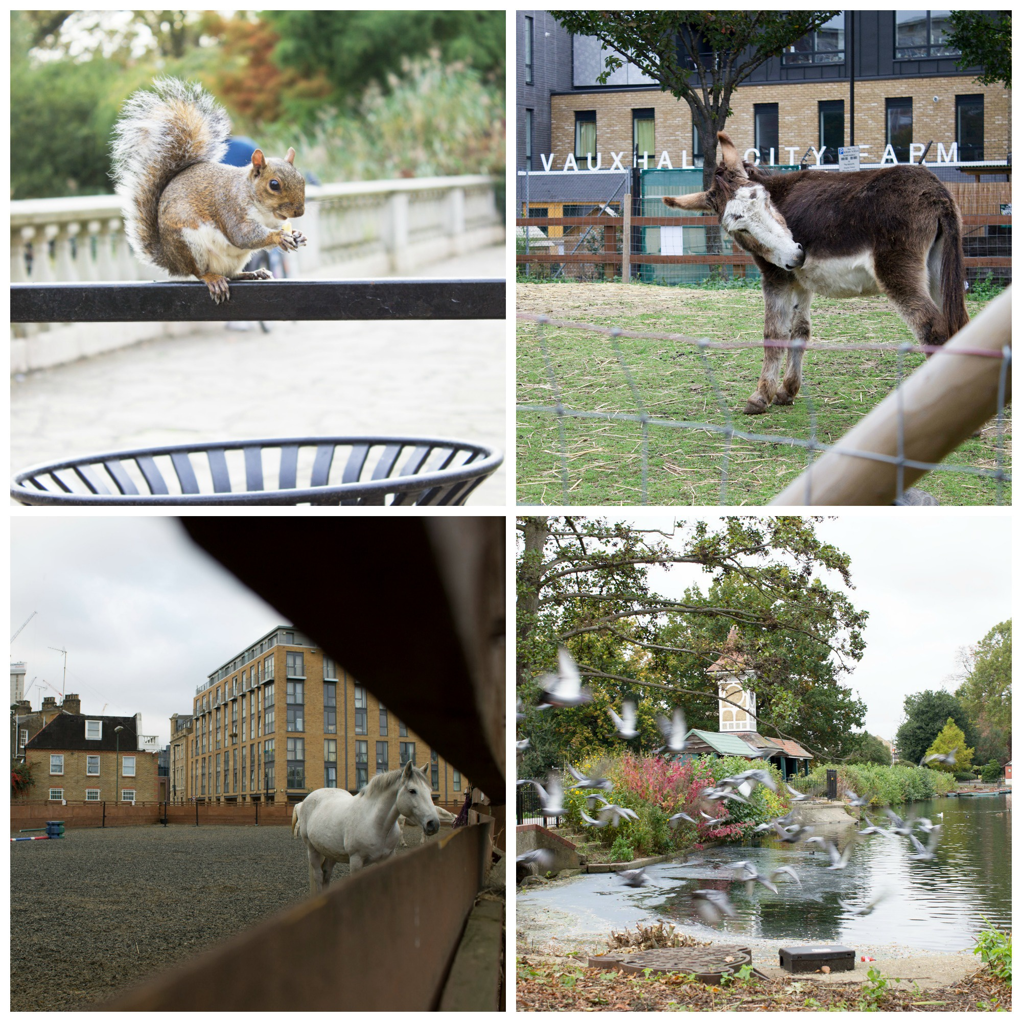 Collage of the animals you can find in London, including a squirrel on a fence, a donkey at Vauxhall farm, a horse and a flock of birds flying over some water